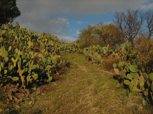 Mulattiera  circondata da fichi d'india (terre di Calabria)