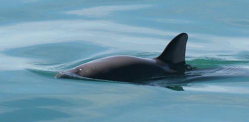 小頭鼠海豚(Phocoena sinus)。