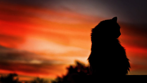 sunset arizona pet silhouette cat canon saturated feline 70200mm litchfieldpark