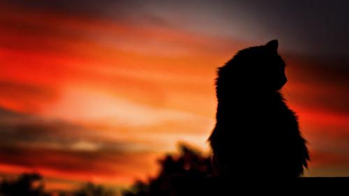 sunset arizona pet silhouette cat canon saturated feline 70200mm litchfieldpark