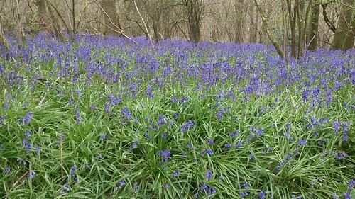 Bluebells in Withy Copse (II)