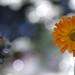 Orange hawkweed in the sun by pe_ha45