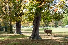 Deer rut in Bushey Park