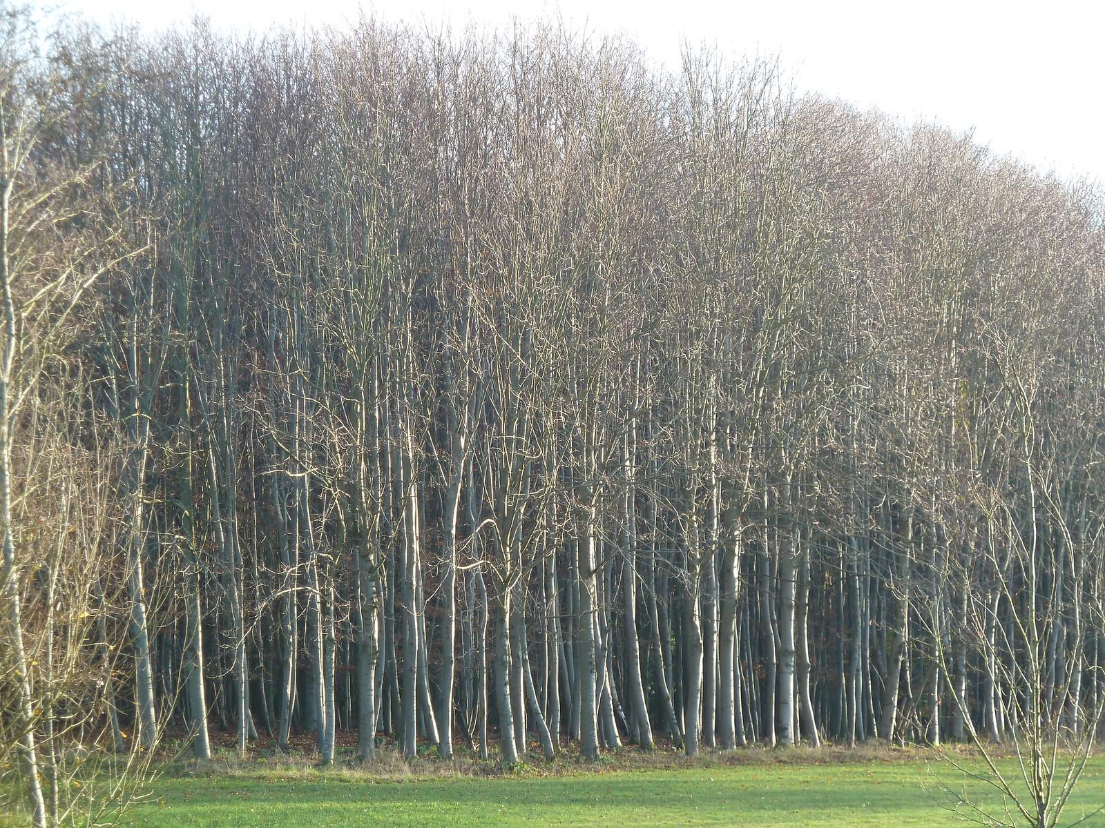 Silver Birch (Eridge Circular)