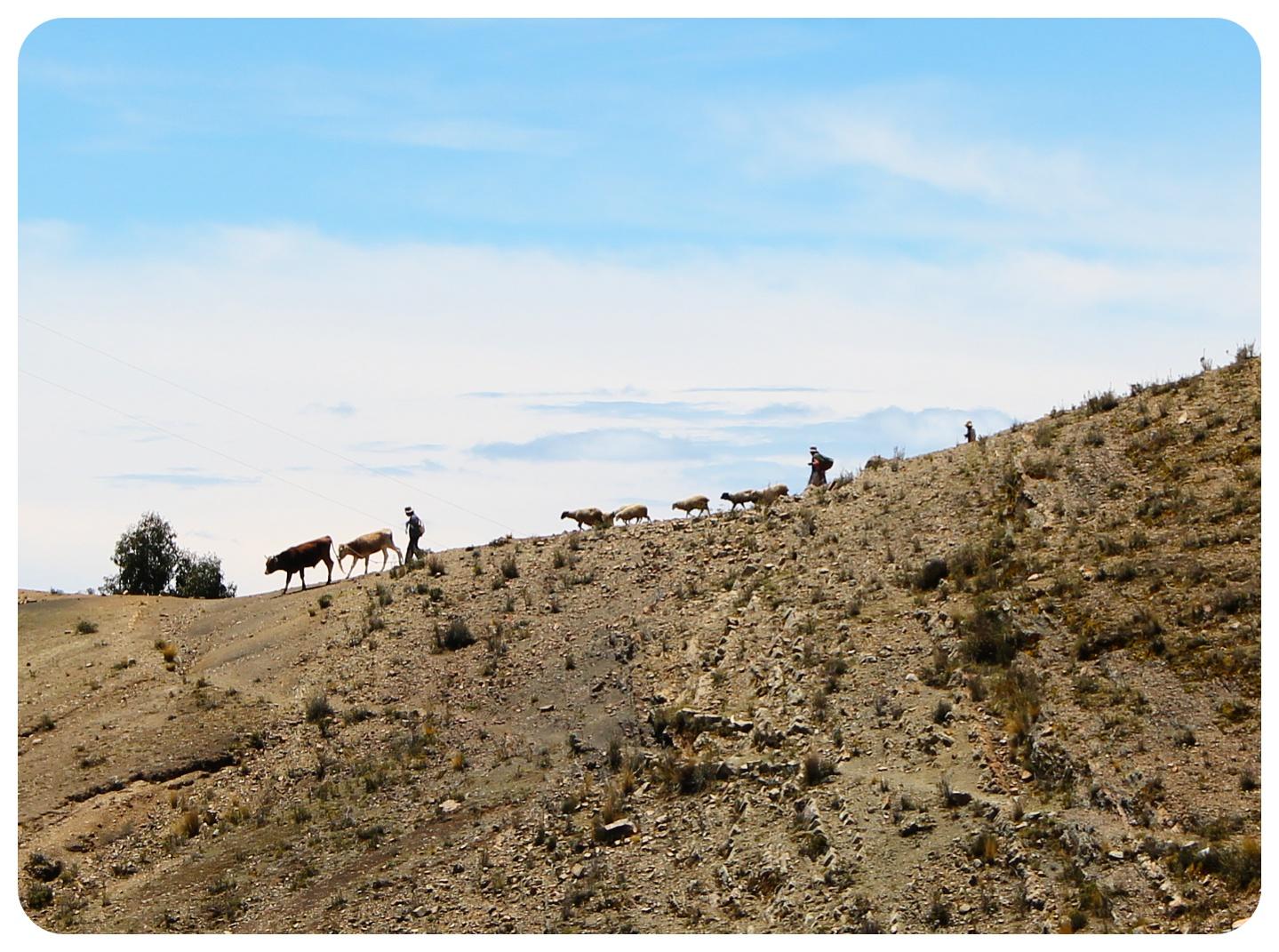 lake titicaca cows