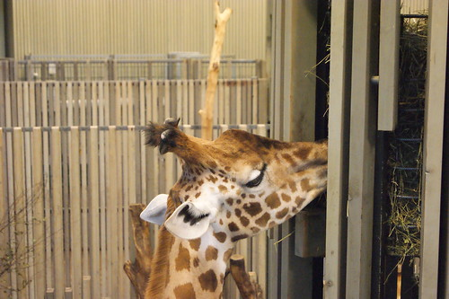 Giraffe im Zoo Dresden