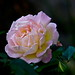 Haloween Rose