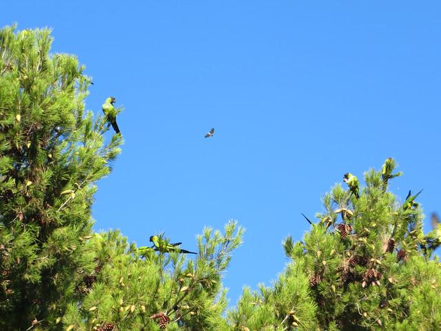 hawk and wild parrots