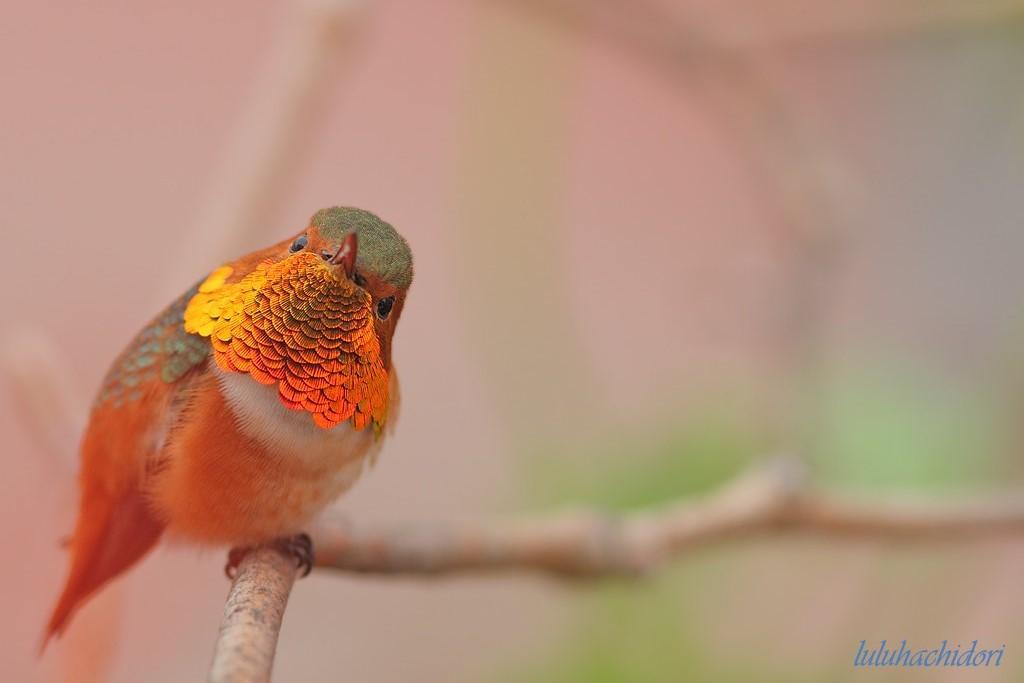Allen's Hummingbird-112014