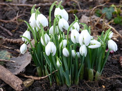 Snowdrops 20th Jan 2015