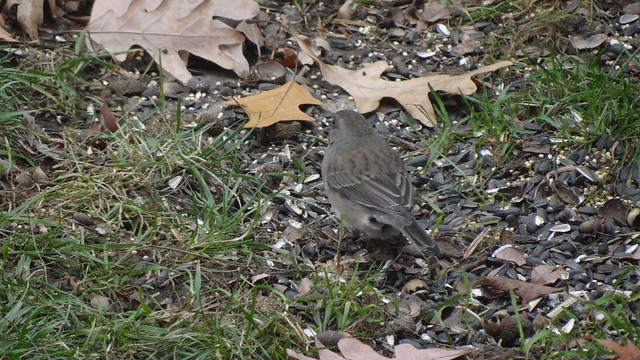 unidentified apparent hybrid sparrow