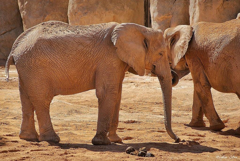 Bioparc Valencia_Sabana (1) Elefante Africano de Sabana