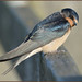 Swallow (image 1 of 2)