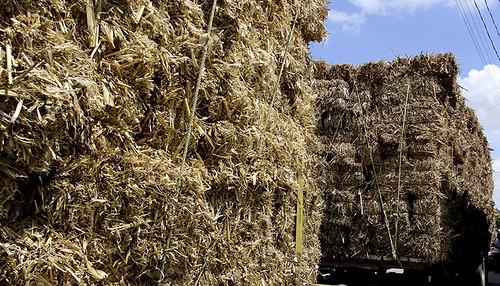 Se dañaron los cultivos de alfalfa