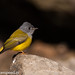 uttampegu posted a photo:Saw this beautiful flycatcher in Udaipur in 2015, Jan in sun otherwise I always saw this inside leaves!