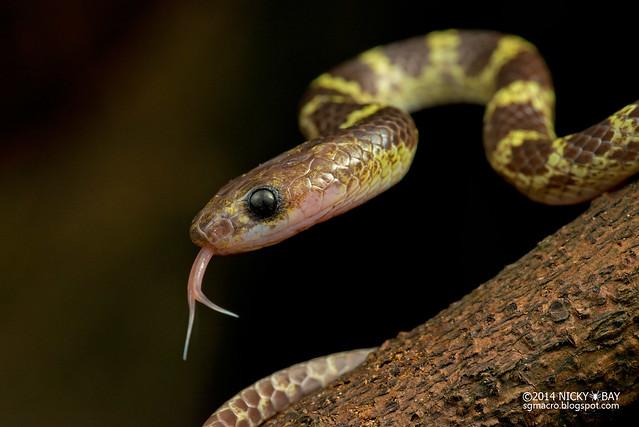 Malayan bridle snake (Dryocalamus subannulatus) - DSC_3584