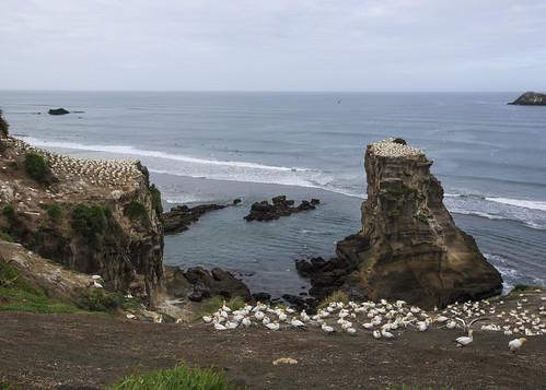 ocean sea newzealand summer outcrop seascape beach birds landscape rocky auckland nz migration colony nesting gannet muriwai morus lisaridings fantommst