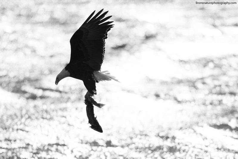 Bald eagle with salmon