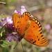 Gulf Fritillary Butterfly In My Garden 2015 - 12