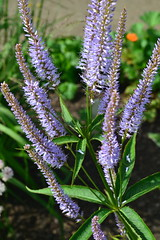 VERONICASTRUM virginicum 'Temptation'