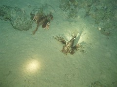 Lion Fish on Night Dive Image
