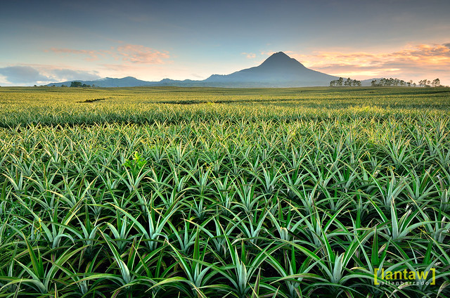 Pineapple Fields Forever (Mt. Matutum)