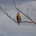 Red Shouldered Hawk  ~Explore by Kimry's Midnight in the Garden