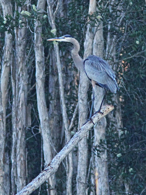 Great Blue Heron 20141210