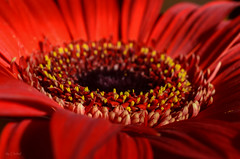 Red Gerbera in Macro