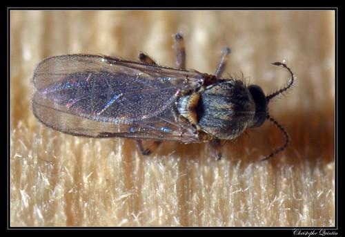 Dasyhelea sp. femelle