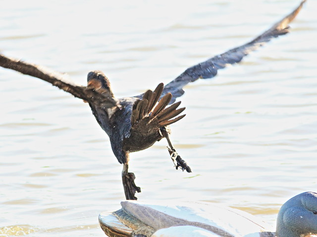 Double-crested Cormorant 2-20141028