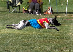 dog sports, animal sports, dog, greyhound racing, whippet, sports, pet, mammal, dog agility, lure coursing,