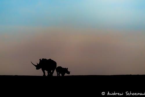 africa winter silhouette southafrica mammal photography wildlife safari kwazulunatal whiterhinoceros phindagamereserve andrewschoeman