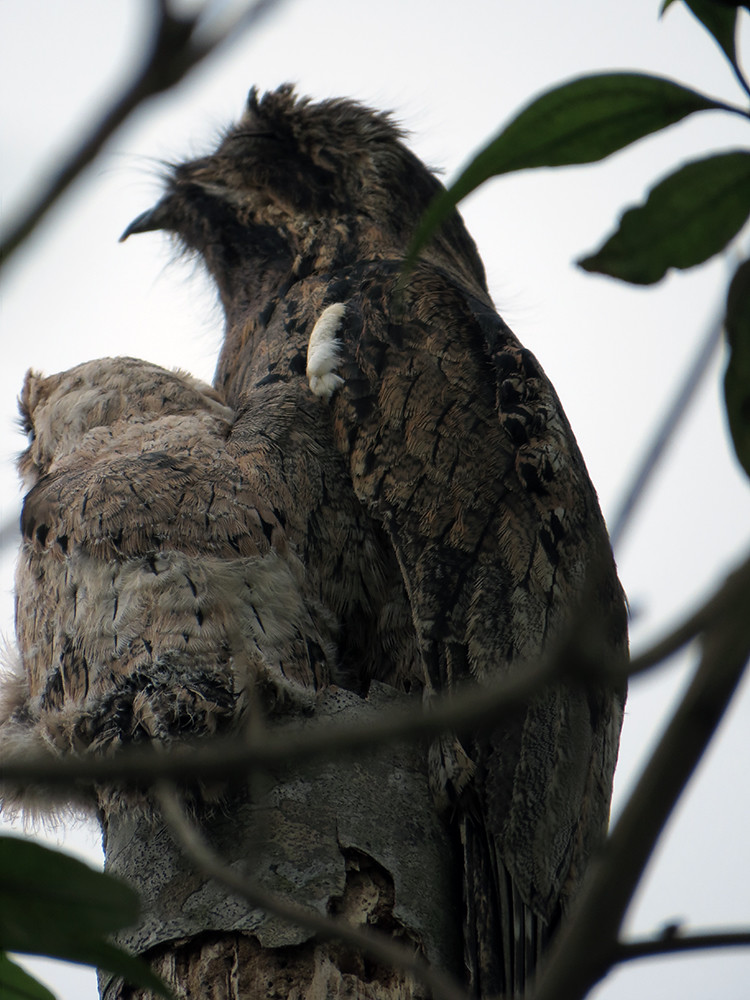 Potoo with Baby!