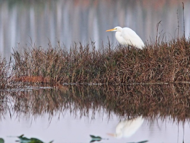 Great Egret 60D CROP 20141222