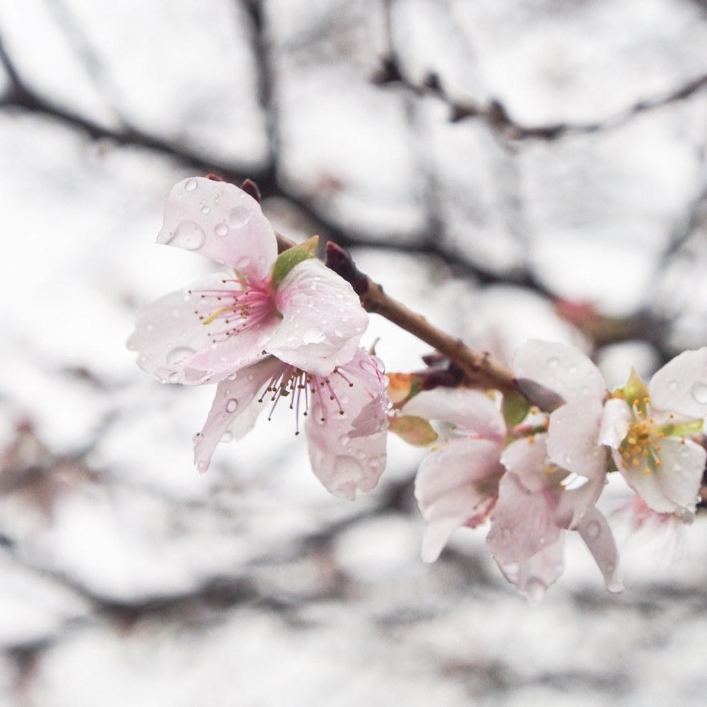 冬樱花 Winter Sakura