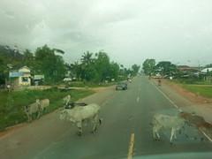Vacas camino