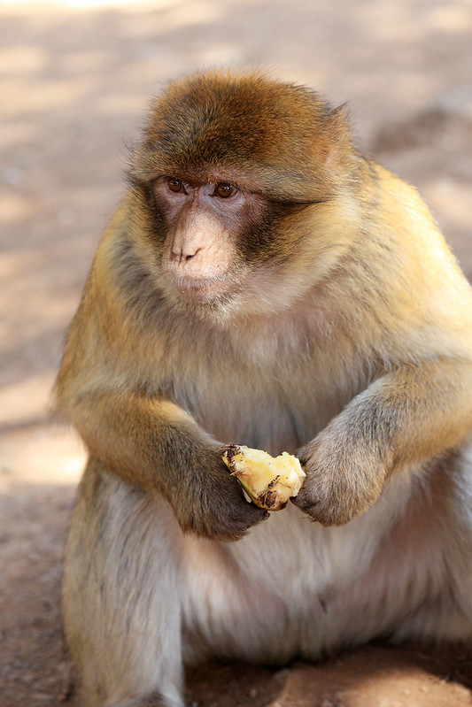 Macaque with apple