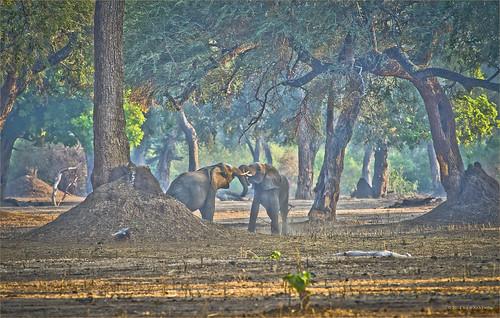 africa elephant safari zimbabwe loxodonta manapools