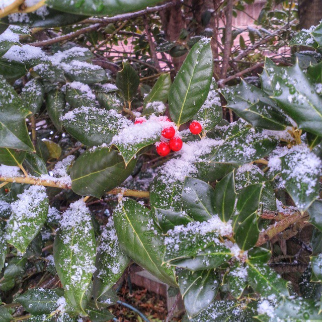#snow #holly #berries #red #igersok #tulsa #oklahoma