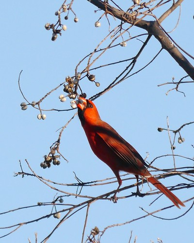Northern Cardinal Eating Chinese Tallow Berries