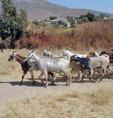 Ter, 20/01/2015 - 05:07 - Species name: Goat (photo credit: ILRI).