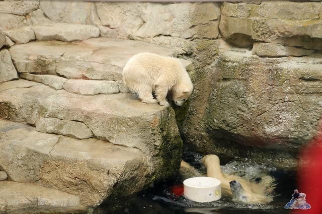 Eisbär Lili im Zoo Bremerhaven 30.04.2016 Tei 1  138