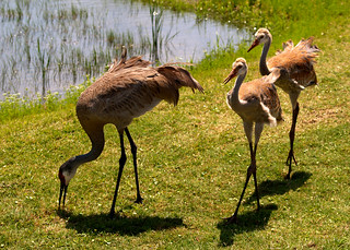 "(Best Bird) Honorable Mention - ""Fore!"" Sandhill Cranes Ahead - Gwen McCarthy"