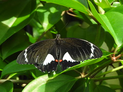 Male Orchard Swallowtail - butterflies in the Cairns Botanical gardens