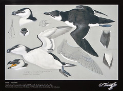 The North Stacks in Anglesey, Wales has an old brick factory that has been converted into an outdoor art gallery containing scenes of life in the area which includes this bird painting of a Razorbill