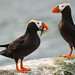 Tufted Puffins by りんごとみかん