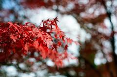 南禪寺 楓葉