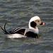 Long-Tailed Duck by Jim Sullivan by jb.sullivan