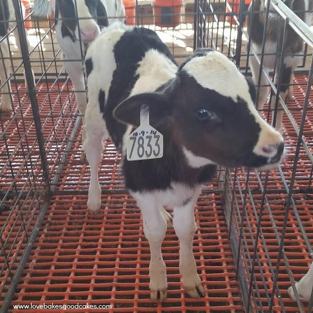 Kerr Dairy Farm Trip #blendedconf #AZMilk